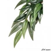 Plante Terariu Ruscus Mediu
